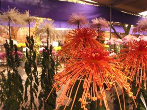 曼珠沙華の様な花火状の菊