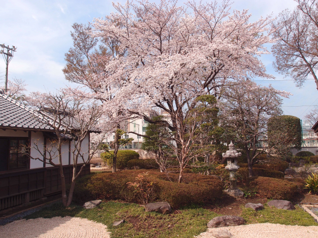 川越 桜の名所めぐり。春まつりと共に楽しむ小江戸のお花見