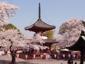 関東は川越江戸桜。川越・桜の名所めぐり
