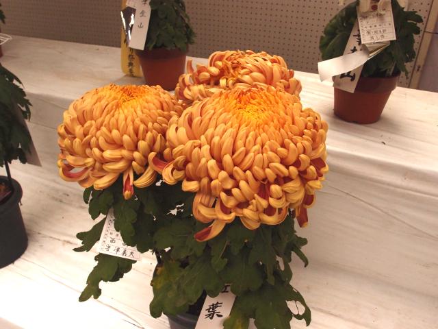 ダリアみたいな菊