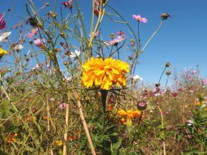 夏はひまわり畑!伊佐沼東岸花畑は埼玉・川越の隠れた絶景スポット