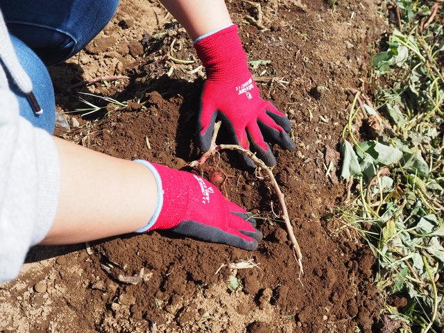 川越イモを掘ろう!老舗「山田園」で楽しくおいしい芋掘り体験!
